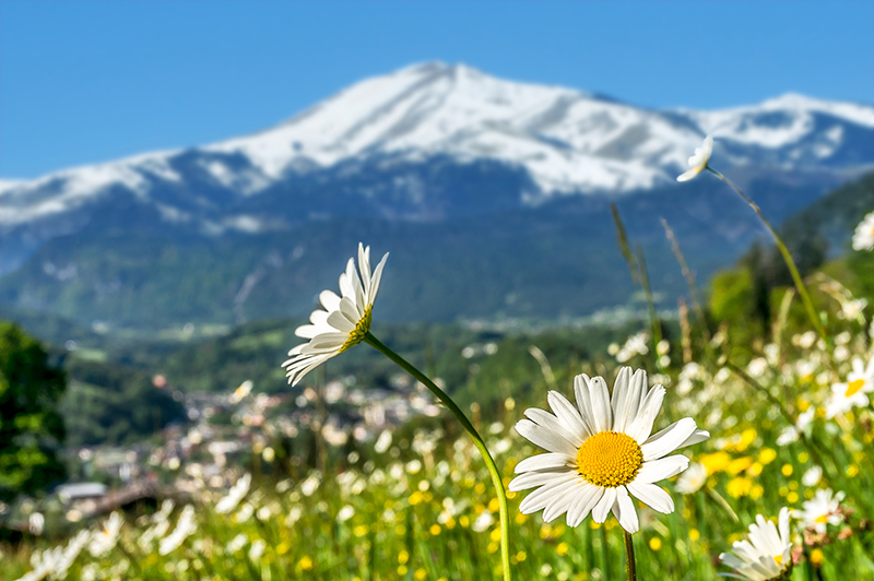 Photo of Sierra Blanca in background with daisies